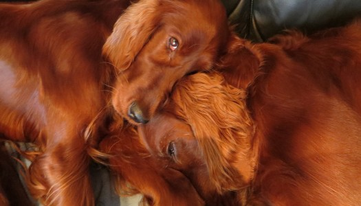 FRISKY Pets: Barry Gilbey's matching set of setters